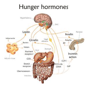 hormone Leptin